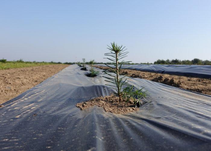 Bionedbrydelig plast: Den gode ide fra juletræsplantagen